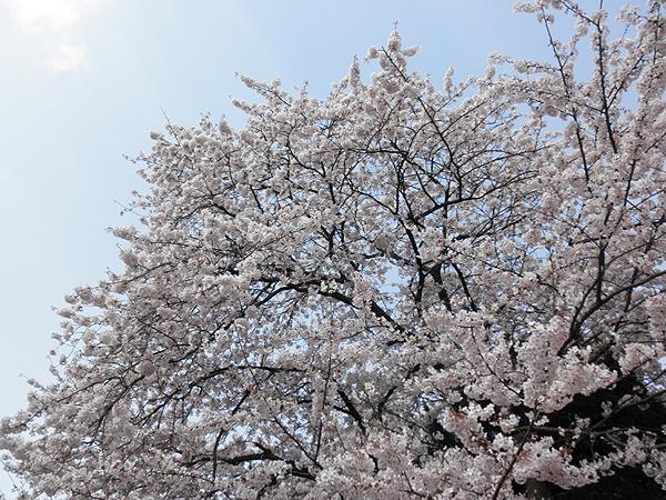 20110411桜②