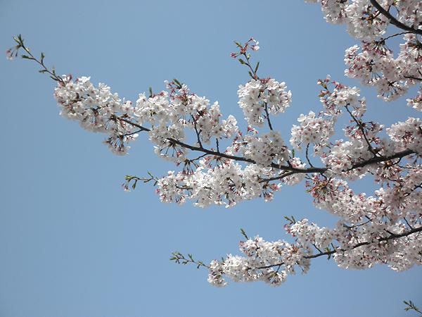 20110411桜③