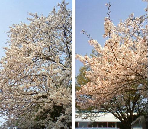20110411桜-携帯