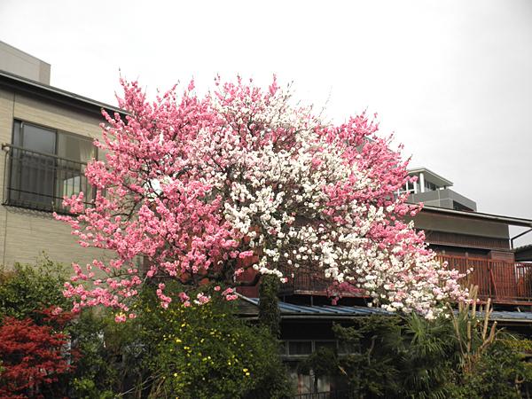 20110415花①