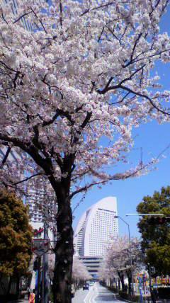 20110414桜-友より