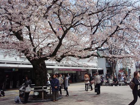 仙川の桜2