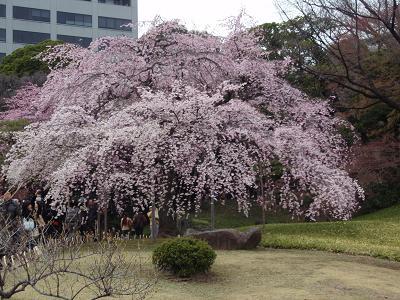 花見弁当11-3
