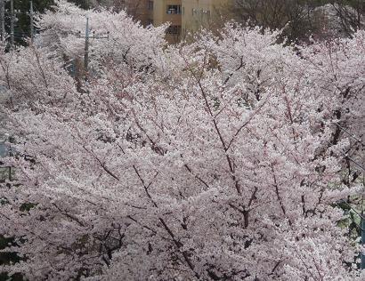 窓下の桜4