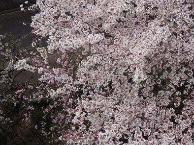 窓下の桜3