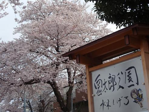 鬼太郎の桜1