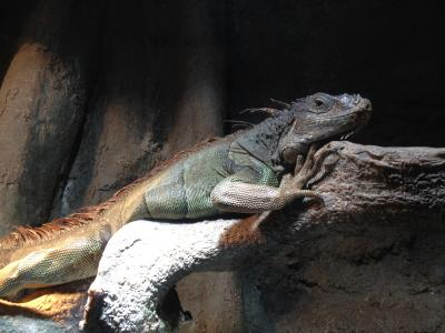 Jurassic Park iguana 1