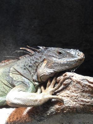 Jurassic Park iguana 2
