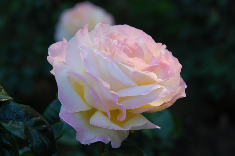 20110727 Rose Peace3