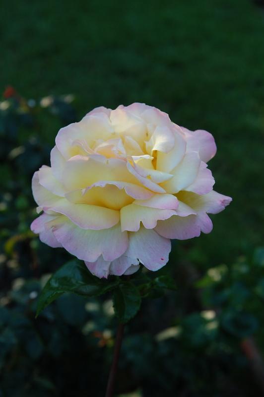 20110727 Rose Peace2