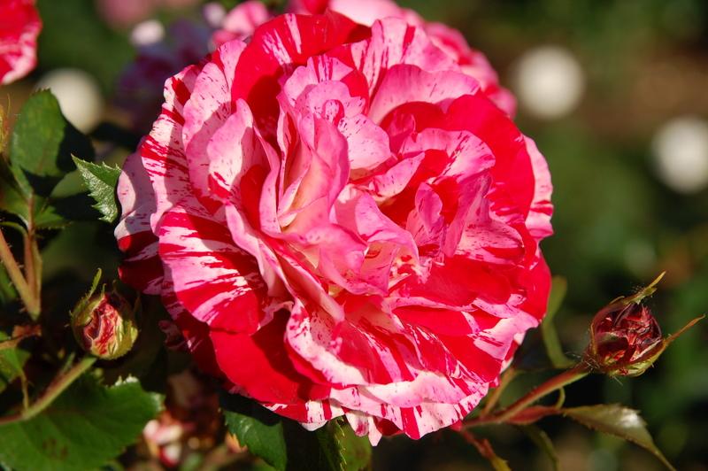 2011-07-30 rose2