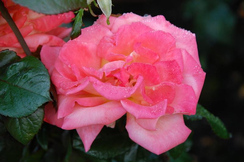 Rose 2011-11-05