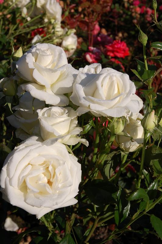 2011-12-21 Rose (2)