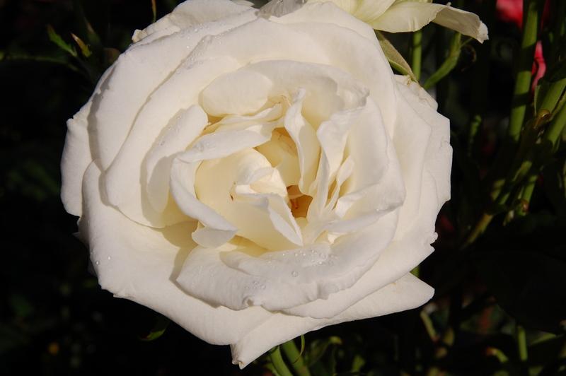 2011-12-21 Rose (3)