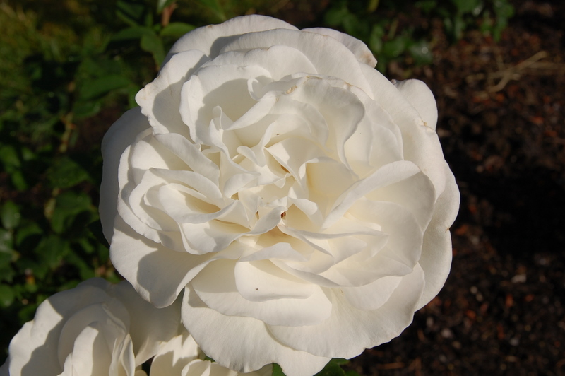 2012-01-14 Rose (1)