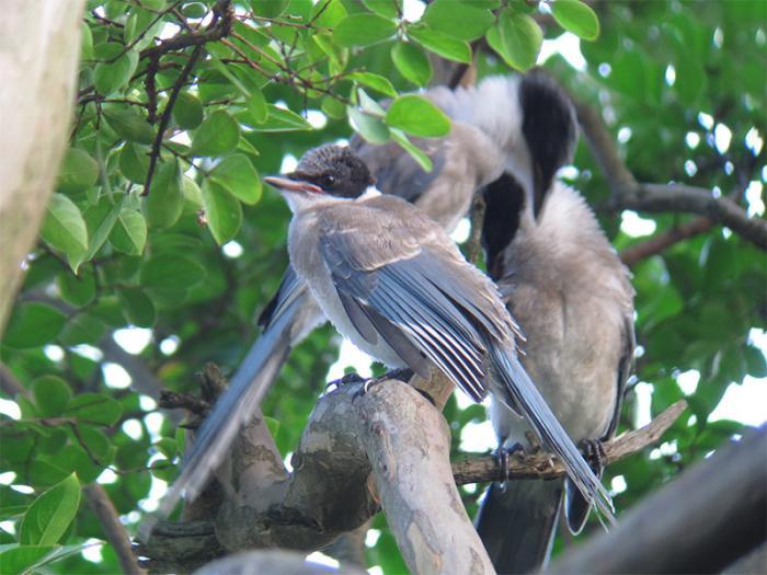 オナガ幼鳥IMG_2389