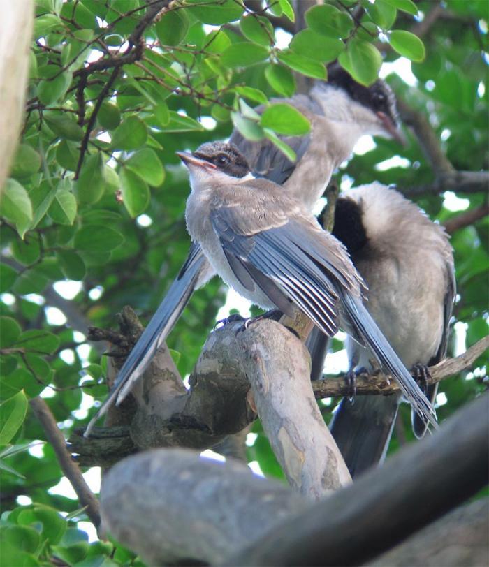 オナガ幼鳥IMG_2390