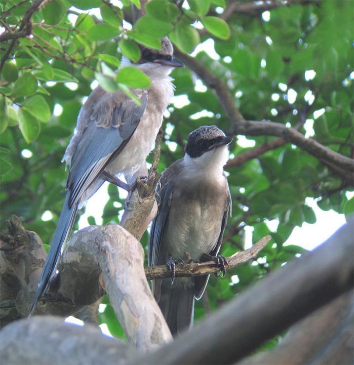 オナガ幼鳥IMG_2402