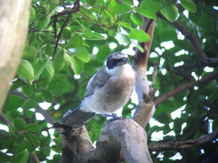 オナガ幼鳥IMG_2414