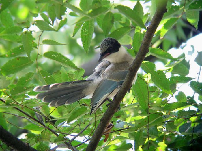 オナガ幼鳥IMG_2762