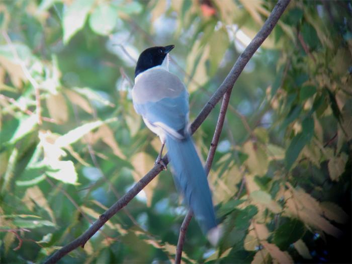 オナガ成鳥IMG_2496