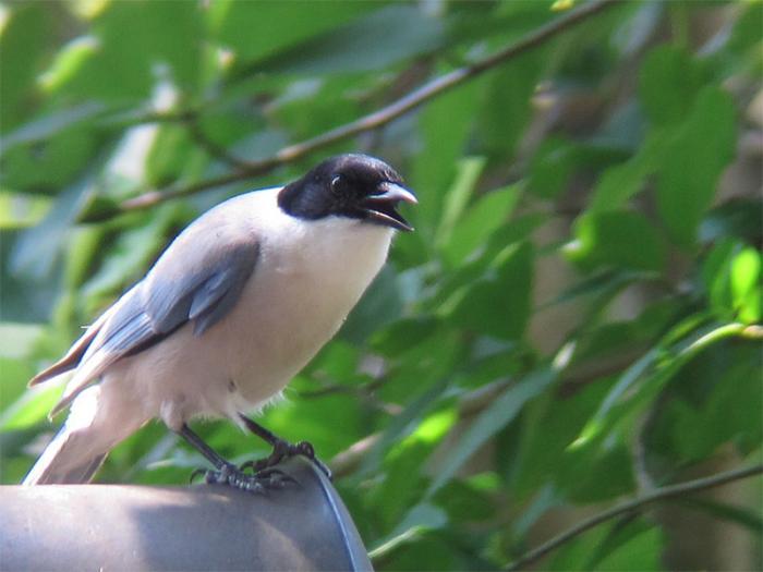 オナガ成鳥IMG_2910