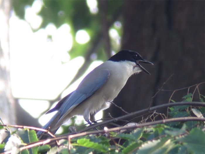 オナガ成鳥IMG_2995