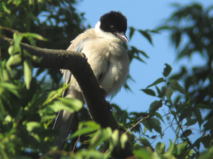 オナガ成鳥IMG_2446