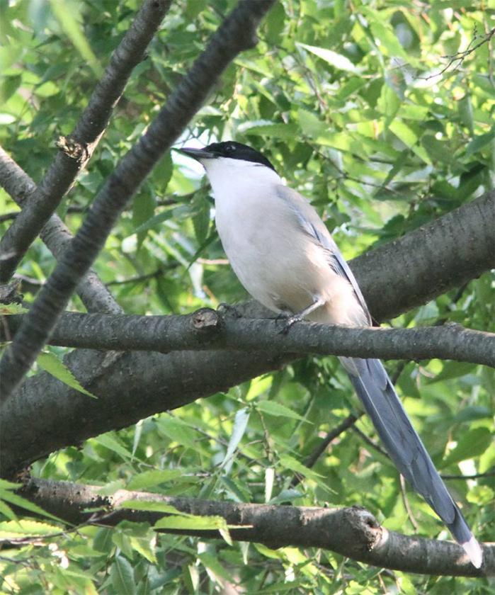 オナガ成鳥IMG_2500