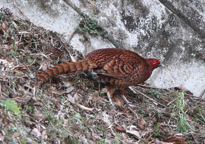 2013-3-9亜種ウスアカヤマドリresize2371