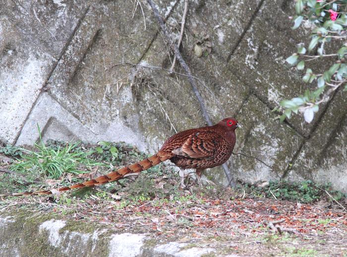2013-3-9亜種ウスアカヤマドリresize2383