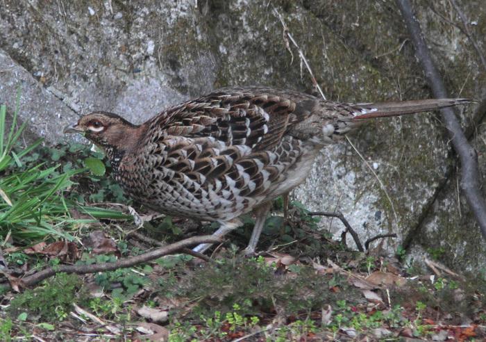2013-3-9亜種ウスアカヤマドリresize2387