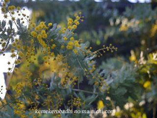mimoza2011.jpg
