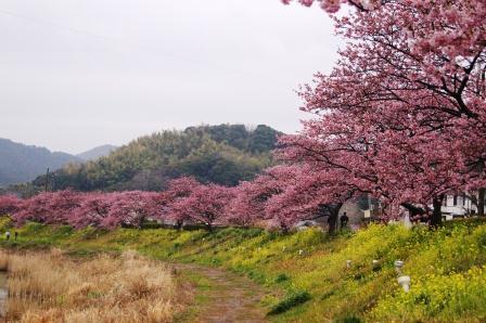 南伊豆の桜③