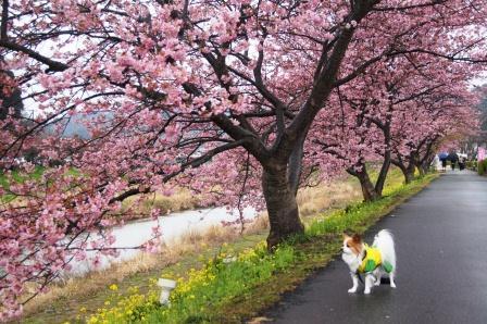 南伊豆の桜④