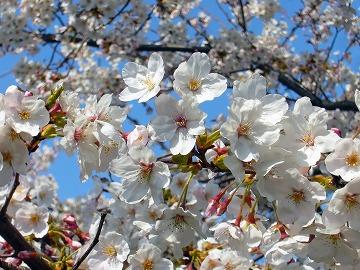 満開桜。。
