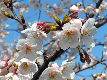 満開桜。。。