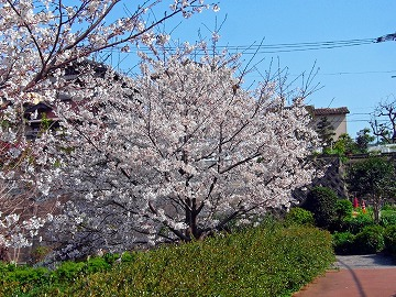 満開桜。。。。