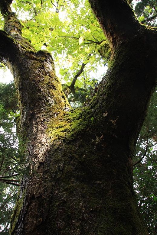 芦生原生林、3