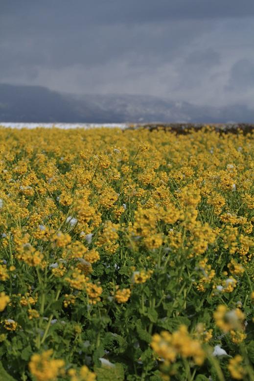 琵琶湖、菜の花