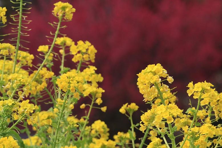 法華寺、菜の花