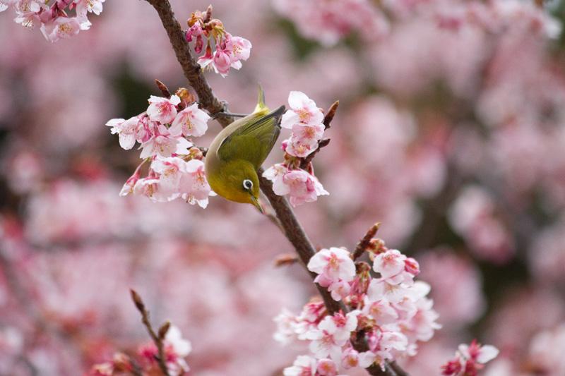 寒桜とメジロ