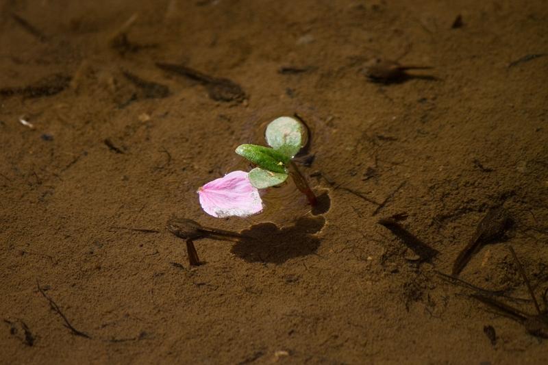 花びらとオタマジャクシ