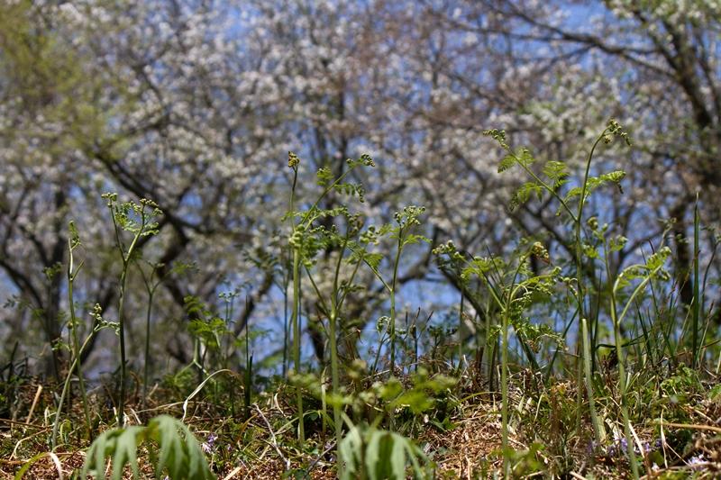 ワラビと桜