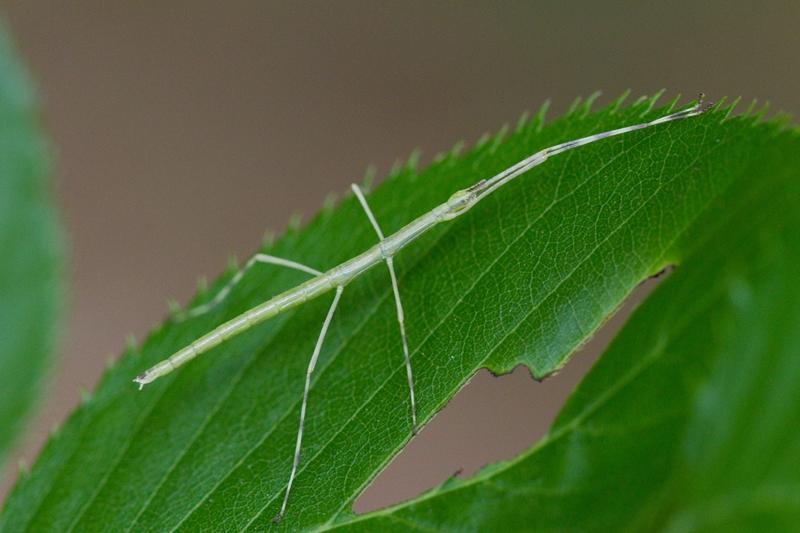 ナナフシモドキの幼虫