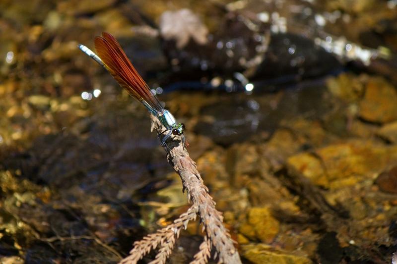 アサヒナカワトンボ オス 橙色翅型