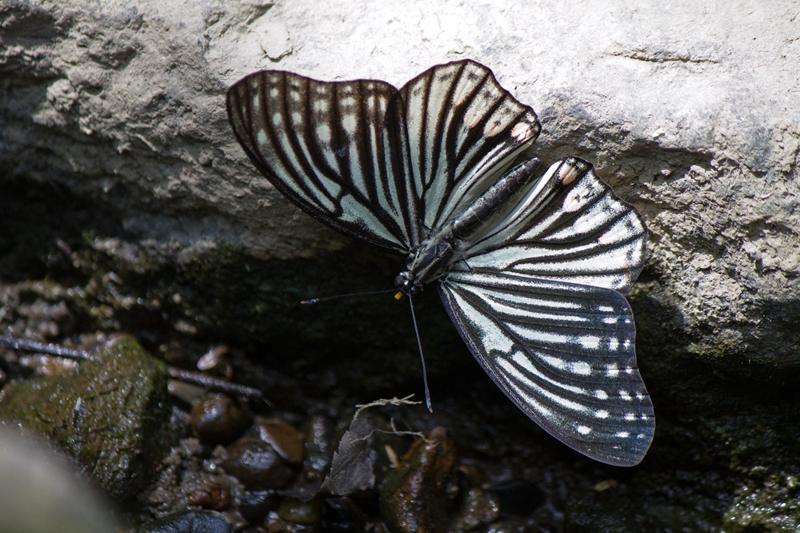 アカボシゴマダラ 春型