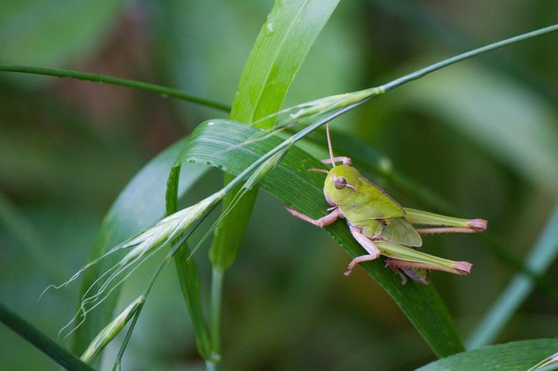 トノサマバッタ 幼虫