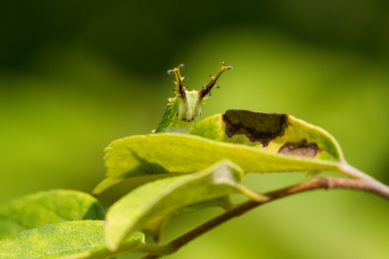 ゴマダラチョウの幼虫