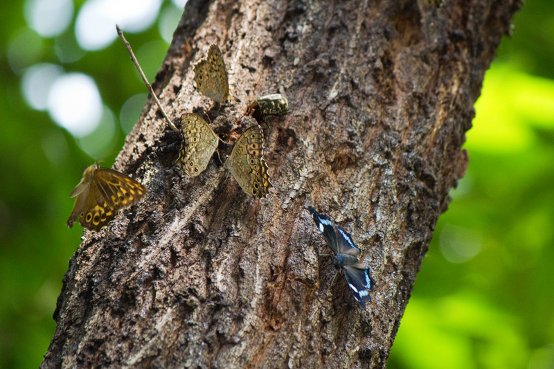 チョウの集まる木